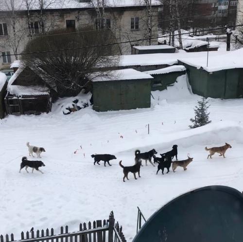 Вторжение собак. Жители Златоуста бьют тревогу по поводу количества расплодившихся бездомных животных